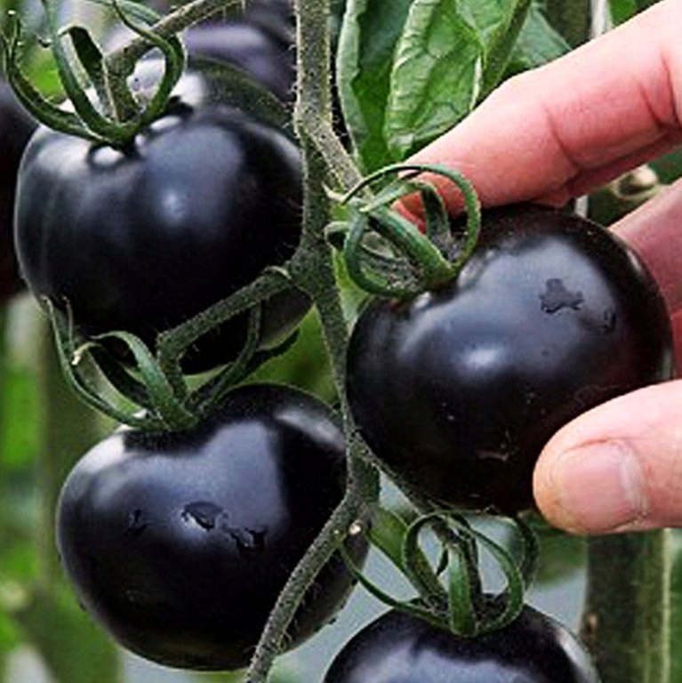 Black Tomato Сладкий коктейль BLACK CHERRY