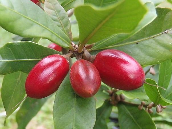 Synsepalum dulcificum - MIRACLE FRUIT NASIONA