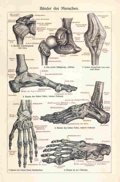 Rycina Anatomia ścięgna Człowieka A3 7201314028