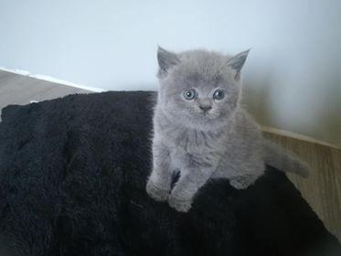 Sprzedam Koty Brytyjskie Niebieskie Krótkowłose 7306900995