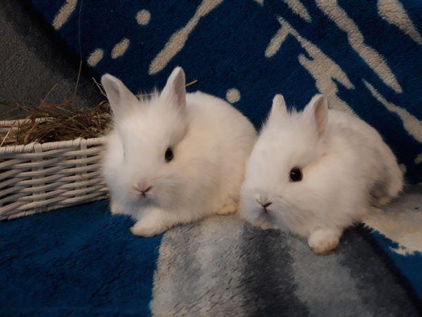 króliki miniaturki karzełki wyprawka transport