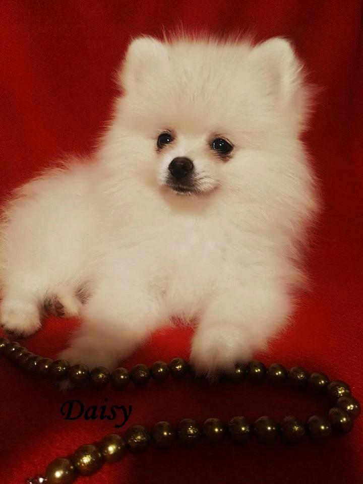 Pomeranian Szpic Miniaturowy Boo Nie York 7451674127 Oficjalne Archiwum Allegro