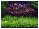 Echinodorus Tenellus PARVULUS einfach wenig Rasen 10 X