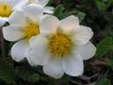 DĘBIK-zimozielony śliczny dywan, kwiaty białe,V-VI