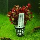 растения для аквариум Ludwigia мини супер Red XL