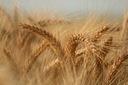 Mąka ORKISZOWA typ 680 najlepsza w Polsce 5 kg