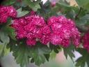 Głóg PAUL'S SCARLET 160cm cudne różyczki/PRODUCENT