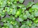 HIACYNT WODNY eichornia crassipes PIĘKNIE KWITNIE