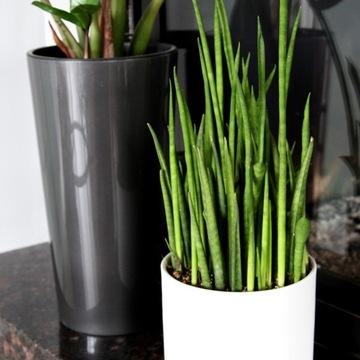 Sansevieria 'Mini Rocket' - rastlina Sphagethii