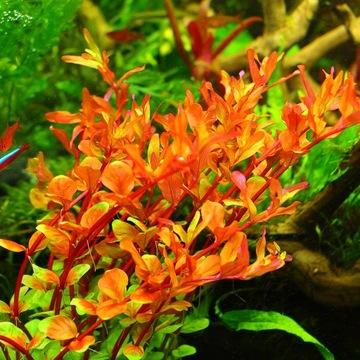 Растения для аквариума Rotala Colorata 25-35 шт. XXL