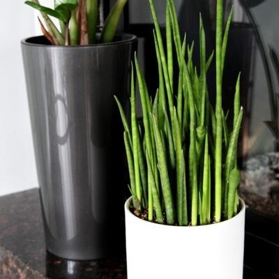 Sansevieria 'мини Rocket' - растительные Sphagethii