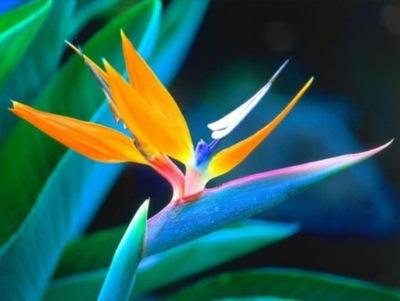 Самое красивое РАСТЕНИЕ НА  - Райская Птица