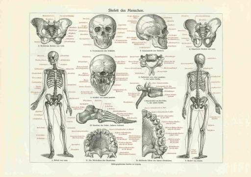 Rycina Anatomia Szkielet Kości Czaszka A4